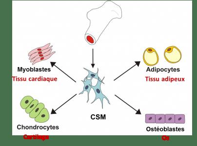 Potentiel de différentiation des cellules souches du mésenchyme